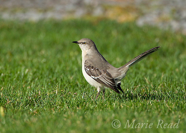 Northern Mockingbird (Mimus polyglottos), adult on lawn, Interlaken, New York, USA