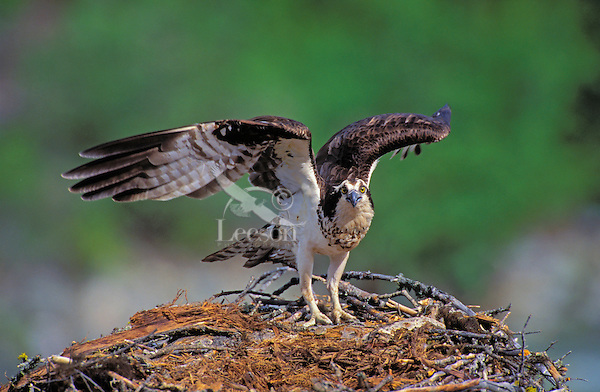 Osprey on Nest. Spring. Rocky Mountains. Kootenay National Park. British Columbia, Canada. (Pandion haliaetus).