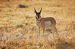 Pronghorn Male at Sunrise, Blacktail Ponds, Yellowstone National Park, Wyoming