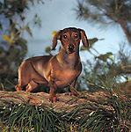 Dachshund<br />