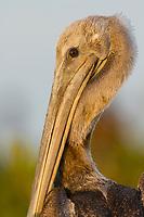Head portrait of a lightly oiled juvenile Brown Pelican (Pelecanus occidentalis). Raccoon Island, Terrebonne Parish, Louisiana. July 2010.