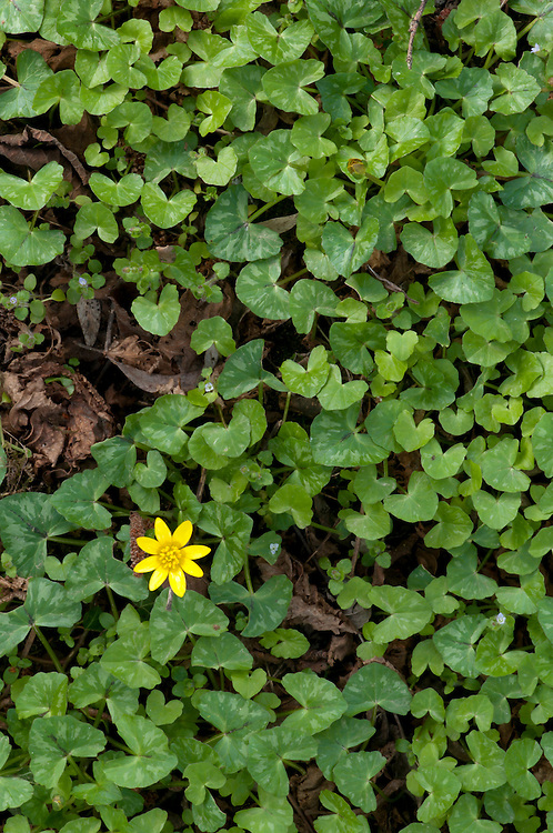 Lesser celandine, Ranunculus ficaria in Hay Meadow - Clattinger farm, Wiltshire. This habitat has been reduced in the UK through intensified farming by 98% since the second world war and is highly endangered.