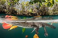 Morelet's crocodile, Central American crocodile, or Belize, Caribbean, Atlantic crocodile, Crocodylus moreletii, floats resting among leaves and their reflections in a cenote, or freshwater spring, near Tulum, Yucatan Peninsula, Mexico, Caribbean, Atlantic