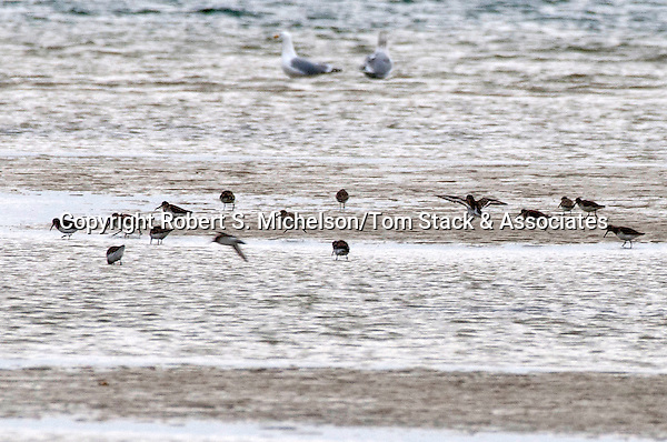Several Sanderlings feeding on sand flat, South Beach, Chatham, Massachusetts