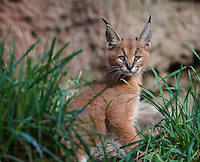 "Caracal Kitten (Caracal caracal)--this cat is about 6 weeks old.  The word ""Caracal"" comes from the Turkish word ""karakulak"" which means ""black ear.""  Found in Africa through Central Asia and India."