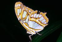 BUTTERFLIES &amp; MOTHS<br /> Malachite Butterfly, Siproeta stelens