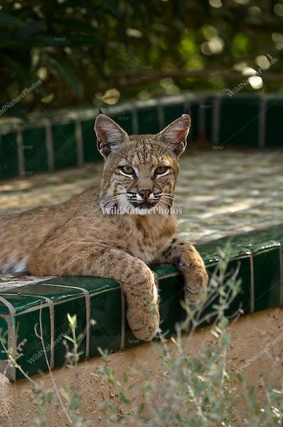 A Bobcat (Lynx rufus) hunts from a backyard patio.