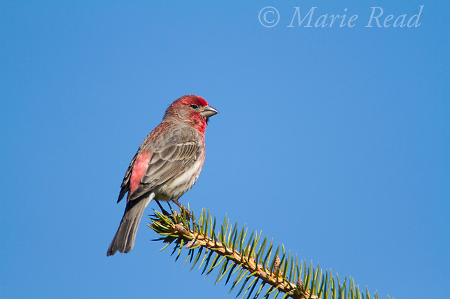 House Finch (Carpodacus mexicanus) male in breeding plumage, Interlaken, New York, USA