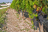 Soil detail. Stony. Sand. Bunches of ripe grapes. Chateau Cantenac Brown, Margaux, Medoc, Bordeaux, France