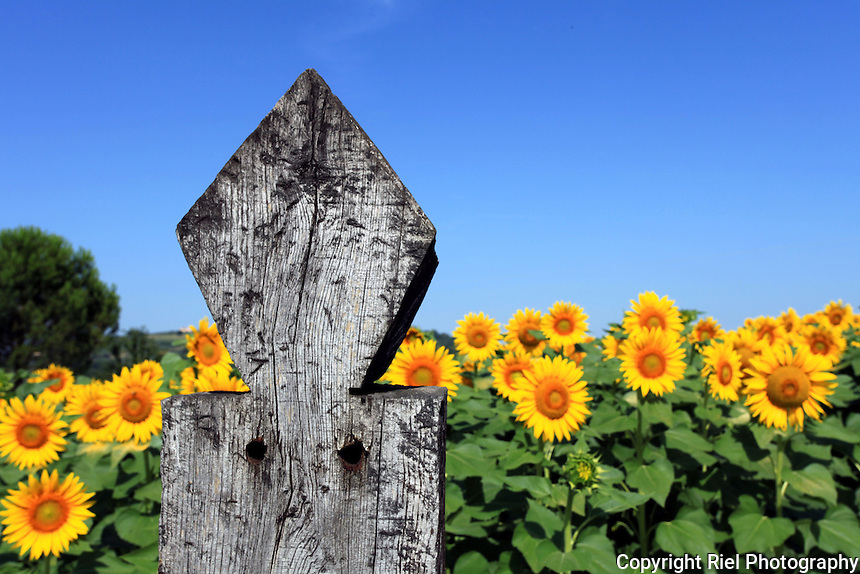 A fence post of weathered character and shape stands guard to a field of sunflowers, Italy