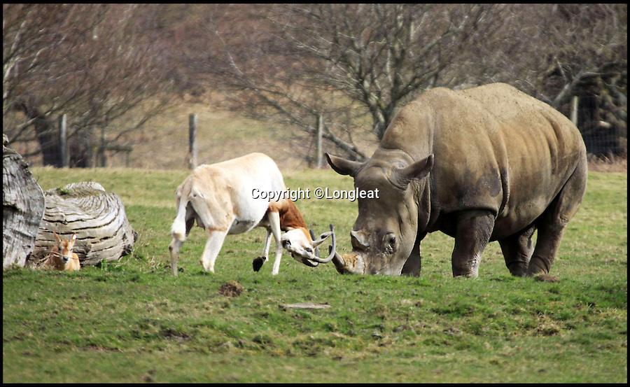 BNPS.co.uk (01202 558833)<br /> Pic: Longleat/BNPS<br /> <br /> *Please use full byline*<br /> <br /> Little and Large show...<br /> <br /> Despite the size difference the proud mother charges into action...<br /> <br /> This plucky mother antelope ignores the golden rule of 'pick on someone your own size' and squares up to a whopping rhinoceros in a bizarre stand-off.<br /> <br /> The brave mum refused to back down when the three-tonne beast came a little too close to her newborn calf - and at one point even clashed horns with it.<br /> <br /> The protective mother antelope, called Ramina, kept her days-old baby Phoenix behind her at all times as she valiantly charged at the massive rhino, called Njanu, despite it being 15 times heavier.<br /> <br /> The unlikely scene was caught on camera by staff at Longleat Safari Park in Wilts.