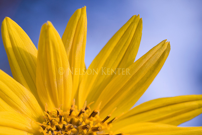 Arrow Leaf Balsamroot wildflower petals