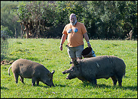 BNPS.co.uk (01202 558833)<br /> Pic: PhilYeomans/BNPS<br /> <br /> Derek has also introduced Iron age pigs.<br /> <br /> Back to the future - A farmer is returning his land back to the Stone Age and reintroducing species of wild animals once extinct in the UK - after becoming disenchanted with 'unsustainable' modern farming techniques.<br /> <br /> Derek Gow is using a herd of Nazi-engineered cows to spearhead his radical rewilding scheme that will create the farming version of Jurassic Park.<br /> <br /> The Heck cows that died out in the Iron Age were re-established in Nazi Germany in the 1930s as part of a genetics programme to create a breed of super cattle.<br /> <br /> Joining them on Mr Gow's 115 acre ring-fenced plot of upland in Devon will be rabbit-eating wildcats, wild boar and beavers.