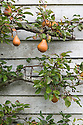 "An espalier-trained pear tree at Great Dixter, mid October. Christopher Lloyd's mother, Daisy, called it ""the dumb blonde: pretty to look at but not much use""."