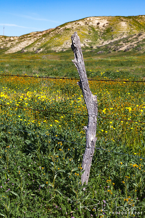 Wildflowers bloom alongside a barbed wire fence along the temblor range at the Carrizo Plain National Monument.