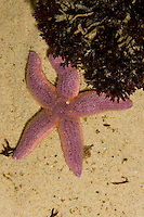 Gewöhnlicher Seestern, Gemeiner See-Stern, Asterias rubens, common starfish, common European seastar