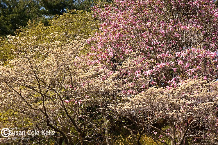 Magmolias in bloom at the Arnold Arboretum, part of Boston's Emerald Necklace in the Jamaica Plain neighborhood of Boston, MA, USA