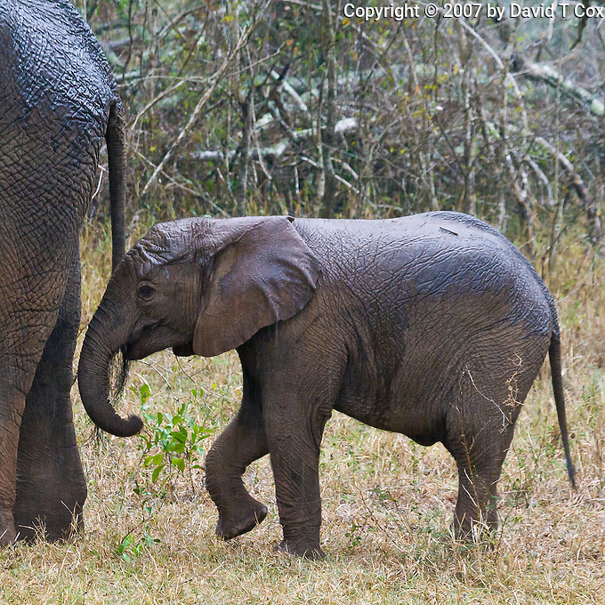 African Elephant baby, Hluhluwe-Umfolozi NP, SA