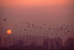 Europe, DEU, Germany, Northrhine Westphalia, Lower Rhine, Voerde - Mehrum, Nature reserve Momm Niederung, Wild Geese in winter, Sunset....[ For each utilisation of my images my General Terms and Conditions are mandatory. Usage only against use message and proof. Download of my General Terms and Conditions under http://www.image-box.com or ask for sending. A clearance before usage is necessary...Material is subject to royalties. Each utilisation of my images is subject to a fee in accordance to the present valid MFM-List...Contact | archive@image-box.com | www.image-box.com ]