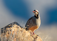 National Bird of Pakistan.  With the longer days, I decided to venture out to Antelope Island after work this week in hopes of getting a nice sunset. The sunset wasn't extraordinary but I was able to photograph this chukar and a couple of large mule deer bucks. These hearty little game birds live in rugged desert areas and love rocky escarpments and steep slopes. They are native to the middle east and thrive in parts of Nevada, Utah and Idaho. My friends who hunt them say you go after them the first time for fun, and the second time is for revenge. March 2014.