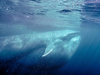 blue whale, Balaenoptera musculus, feeding on krill, offshore, San Diego, California, USA, Pacific Ocean