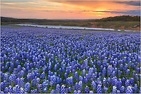 On a quiet morning near Marble Falls, Texas, the bluebonnets awaited sunrise for a new day. Clouds were present and I was afraid the sun would not show, but fortunately the clouds were thin enough to allow some light through.