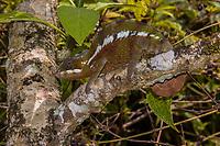 Africa; Madagascar, Analamazaotra special reserve in Andasibe-Mantadia National Park.  Parson's chameleon.