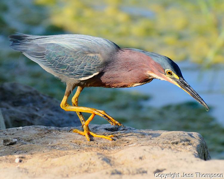 Little Green Heron, Burnet, TX