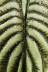 Taro (Alocasia cuprea) leaf, Tawau Hills Park, Sabah, Borneo, Malaysia