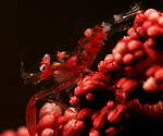 Horned Sea Pen Shrimp, Dasycaris ceratops, Lembeh Straits, Sulawesi Sea, Indonesia, Amazing Underwater Photography