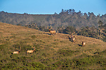 USA, California, Pt. Reyes National Seashore, (Cervus canadensis nannodes)<br /> tule elk