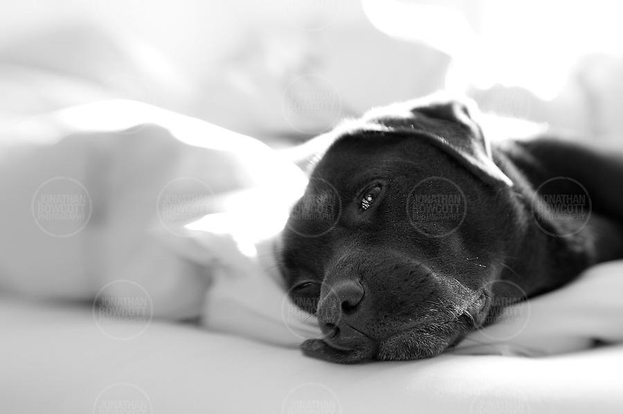 Black and white portrait of a Labrador
