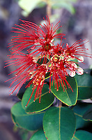 Lehua blossoms of the ohia tree in the dryland forest of Kaupulehu