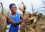 A man harvests corn in Mizak, a small village in the south of Haiti.