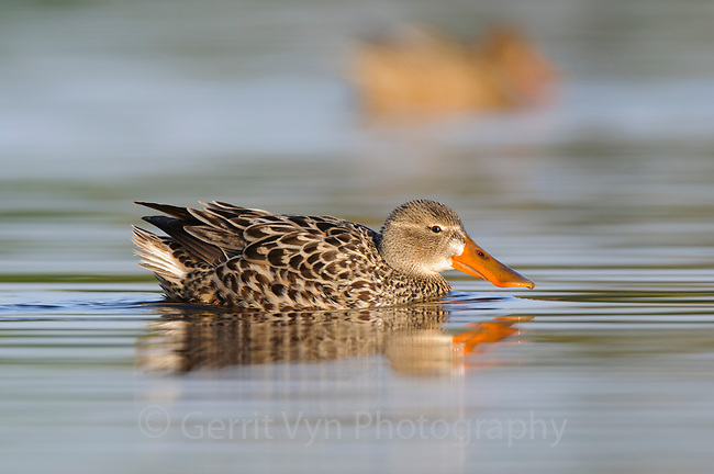 Adult female Northern Shoveler (Anas clypeata). King County, Washington. April.