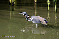 0830-0921  Tricolored Heron Wading in Marsh, Preparing to Strike Water for Prey, Louisiana Heron, Egretta tricolor © David Kuhn/Dwight Kuhn Photography