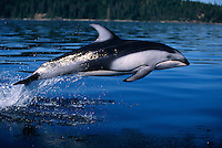 kz3124. Pacific White-sided Dolphin (Lagenorhynchus obliquidens) leaping. British Columbia, Canada, Pacific Ocean..Photo Copyright © Brandon Cole.  All rights reserved worldwide.  www.brandoncole.com..This photo is NOT free. It is NOT in the public domain...Rights to reproduction of photograph granted only upon payment of invoice in full.  Any use whatsoever prior to such payment will be considered an infringement of copyright...Brandon Cole.Marine Photography.http://www.brandoncole.com.email: brandoncole@msn.com.4917 N. Boeing Rd..Spokane Valley, WA 99206   USA..tel: 509-535-3489