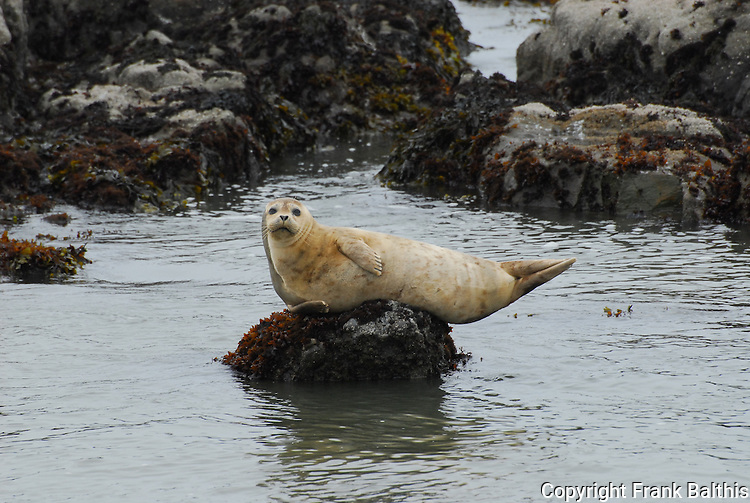 harbor seal on rock at Pebble Beach