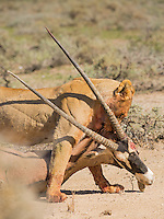 A lioness drags her prey, a Gemsbok killed during the night, to the nearest shade.