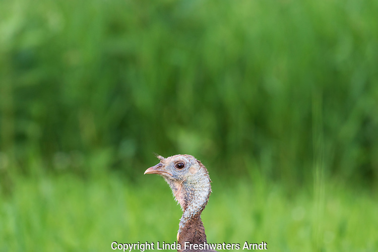 Close up of a hen turkey in northern Wisconsin.