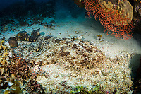 tasselled wobbegong, Eucrossorhinus dasypogon, Fam reef, Raja Ampat, West Papua, Indonesia, Pacific Ocean