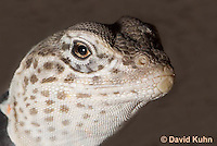 0612-1006  Gravid Female Displaying Breeding Colors, Great Basin Collared Lizard (Mojave Black-collared Lizard), Mojave Desert, Crotaphytus bicinctores  © David Kuhn/Dwight Kuhn Photography