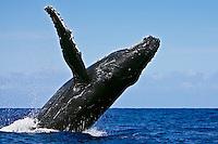 A humpback whale (Megaptera novaeangliae) breaching near Kohola, Big Island.