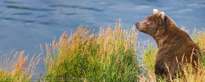 Brown bear on the edge of Brooks River, Katmai National Park, southwest, Alaska.