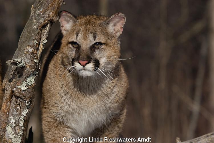 Young Cougar (Puma concolor) walking next to a snag.   Winter.   Minnesota.