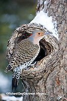 01193-01517 Northern Flicker (Colaptes auratus) male on dead tree in winter, Marion Co, IL