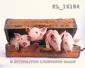Interlitho, Alberto, ANIMALS, pigs, photos, 4 pigs, suitcase(KL16184,#A#) Schweine, cerdos