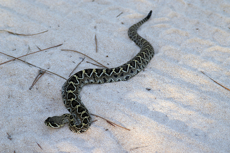 A baby eastern diamondback rattler lies sunning in the road.  The eastern diamondback rattler is noted for the size of its body, which is apparent even in this baby.