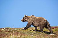 Female grizzly bear walks across the tundra in Denali National Park, Alaska.