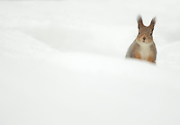 Red Squirrel in the snow (Sciurus vulgaris) , Finland, April 2015